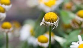 Старый цветок маргаритки в природе Стоковые Фото