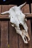 Старый череп буйвола Стоковые Изображения RF