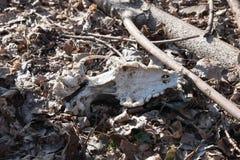Старый череп собаки в траве клык Стоковое Изображение