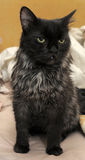Старый черный кот Стоковое фото RF