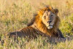 Старый черный с гривой мужской лев Стоковые Фотографии RF