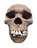 Старый человеческий изолированный череп. Стоковое фото RF