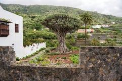 Старый Dracaena дерева дракона растет на ноге горы в городке Icod de las Vinos Стоковая Фотография