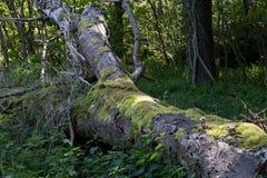 Старым ствол дерева покрытый мхом упаденный Стоковые Фотографии RF