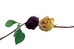2 старых высушенных розы Стоковая Фотография