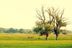2 старых дерева на зеленых луге и табуне пасти штосселей Стоковое Фото