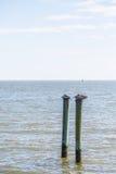2 старых пеликана на деревянных столбах Стоковое Фото