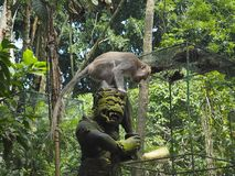 Статуя бога обезьяны с на его головой макака пробуя взять кукурузный початок стоковое фото