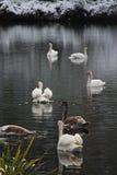 Стая лебедя Стоковые Изображения