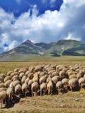 Стая овец стоковая фотография rf