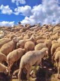 Стая овец стоковая фотография