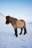 стая пася лужок icelandic лошадей Стоковое Фото