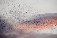 Стая перелётных птиц на сумраке Стоковые Изображения RF