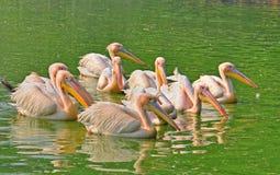 Стая румяного пеликана Стоковые Фото
