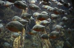 Стая piranhas Стоковая Фотография RF