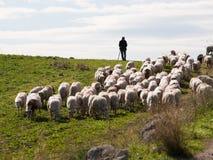 стая shepherd стоковое изображение rf