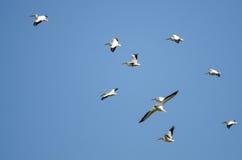 Стадо американских белых пеликанов летая в голубое небо Стоковая Фотография RF