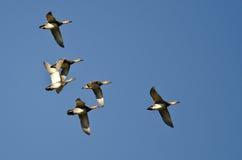 Стадо американских Wigeons летая в голубое небо Стоковая Фотография