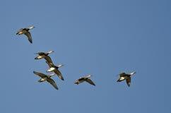 Стадо американских Wigeons летая в голубое небо Стоковое Изображение