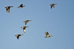 Стадо американских Wigeons летая в голубое небо Стоковое Изображение RF