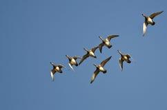 Стадо американских Wigeons летая в голубое небо Стоковые Фото