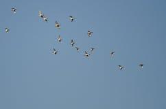 Стадо американских Wigeons летая в голубое небо Стоковое фото RF