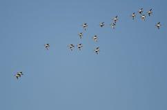 Стадо американских Wigeons летая в голубое небо Стоковое Фото