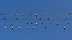 Стадо ласточек на линиях электропередач (коэффициент сжатия 16:9) Стоковая Фотография RF