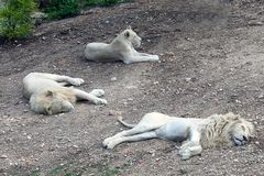 Стадо африканский белый отдыхать тигров Стоковая Фотография RF