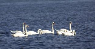 Стадо безгласных лебедей Стоковые Изображения