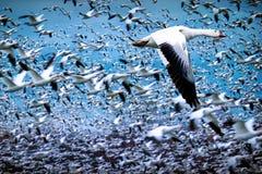 Стадо белых гусынь летая во время миграции Стоковое фото RF