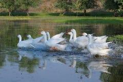 Стадо белых отечественных гусынь бежать на болоте Стоковая Фотография RF