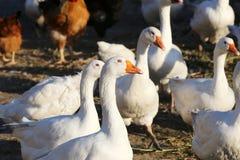 Стадо белых отечественных гусынь на ферме Стоковые Фотографии RF