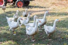 стадо белых отечественных гусынь на ферме Стоковая Фотография RF