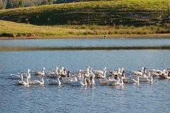 Стадо белых отечественных гусынь плавая в озере в после полудня, t Стоковое Изображение RF
