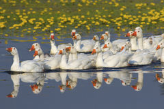 Стадо белых отечественных гусынь плавая на пруде Стоковые Изображения RF