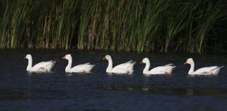 Стадо белых отечественных гусынь Стоковая Фотография