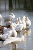 Стадо белых уток стоит в пруде или озере Стоковая Фотография RF