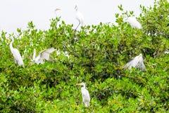 Стадо белых Egrets Стоковое фото RF