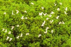 Стадо белых Egrets Стоковая Фотография RF