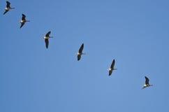Стадо больших, который Бело-противостоят гусынь летая в голубое небо Стоковая Фотография