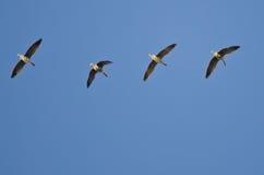 Стадо больших, который Бело-противостоят гусынь летая в голубое небо Стоковое фото RF