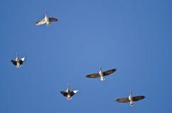 Стадо больших, который Бело-противостоят гусынь летая в голубое небо Стоковое Изображение