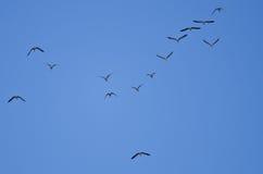 Стадо больших, который Бело-противостоят гусынь летая в голубое небо Стоковые Изображения