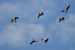 Стадо больших, который Бело-противостоят гусынь летая в голубое небо Стоковые Изображения RF