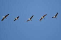 Стадо больших, который Бело-противостоят гусынь летая в голубое небо Стоковое Изображение RF