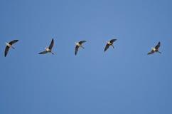Стадо больших, который Бело-противостоят гусынь летая в голубое небо Стоковые Фото