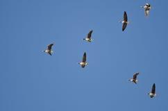 Стадо больших, который Бело-противостоят гусынь летая в голубое небо Стоковая Фотография RF