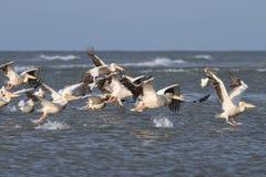 Стадо больших пеликанов принимая полет Стоковое Изображение