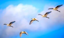 Стадо больших Egrets летая в облака Стоковое фото RF